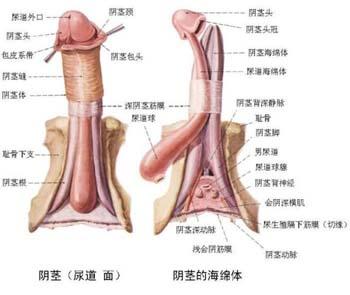 成年男性外生殖器结构-男孩多大割包皮